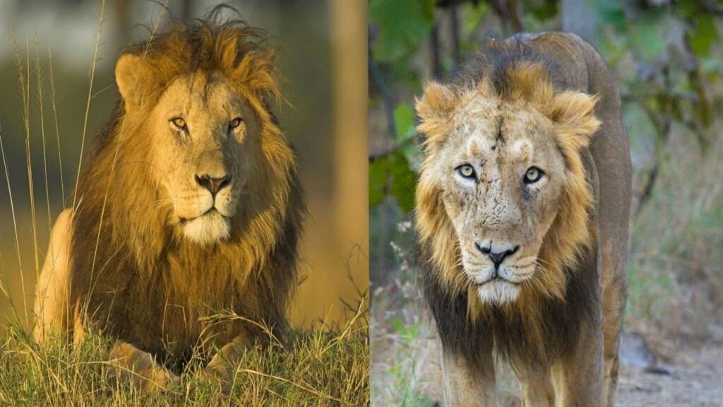 Asiatic versus African lion