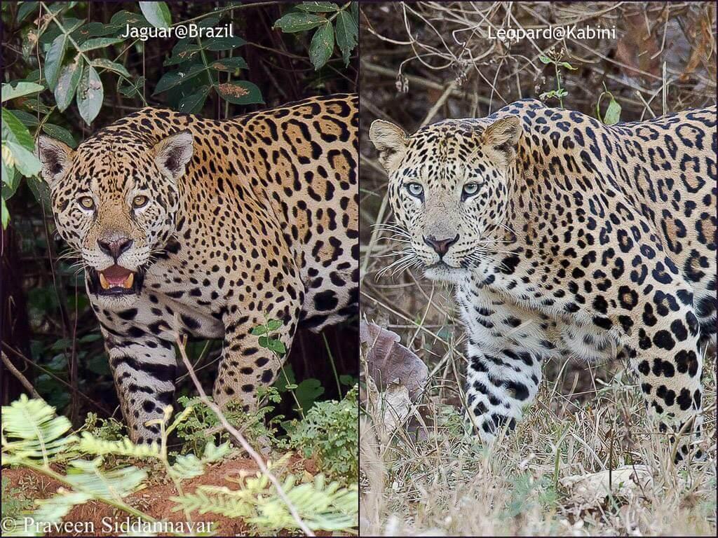 jaguar versus leopard