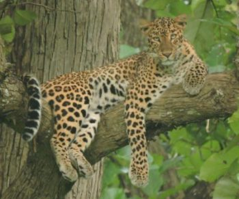 Kabini leopards