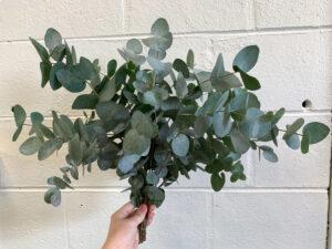 Cinerea Eucalyptus $19.95