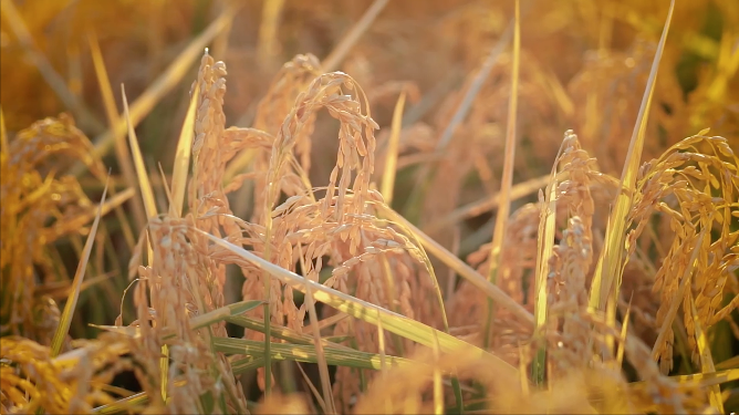 20210716 澳洲本地大米供應提升 新米本月上市