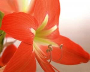 amaryllis-image-sandys-back-porch