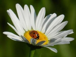 ladybug-daisy-image-sandys-back-porch