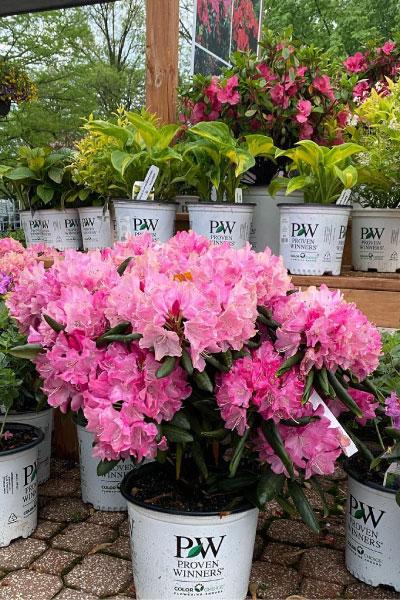 pink-flowered-plant-image-sandys-back-porch