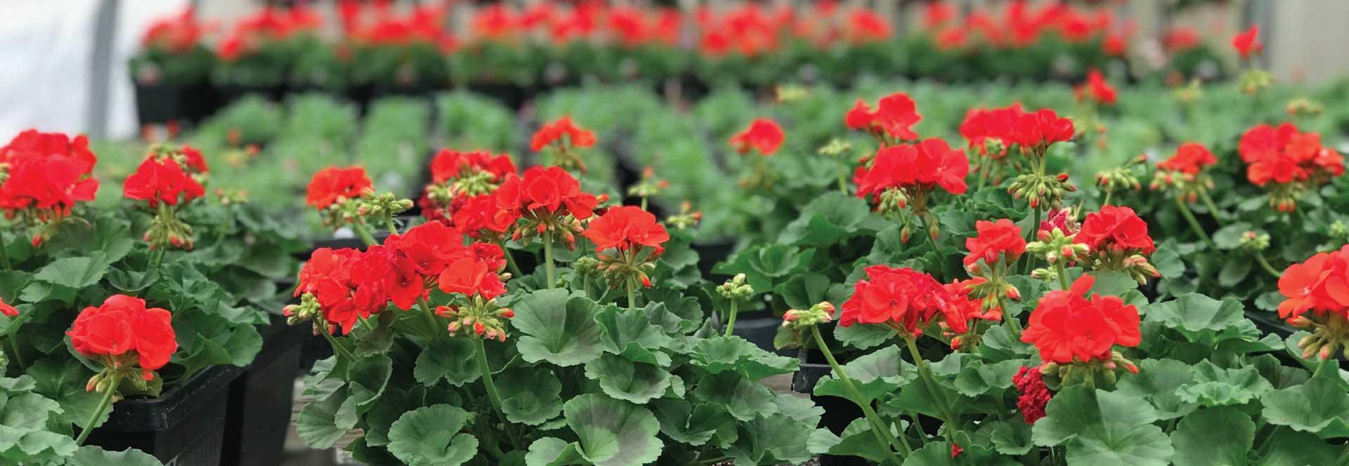 red-flowers-image-sandys-back-porch