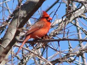 sandys-back-porch-cardinal-bird-image