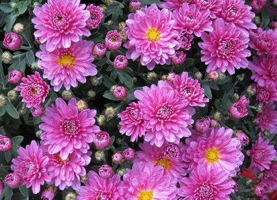 sandys-back-porch-garden-mums-planting-guidelines-image
