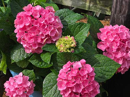 sandys-back-porch-hydrangea-macrophylla-pink