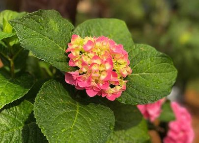 sandys-back-porch-pink-hydrangeas-image