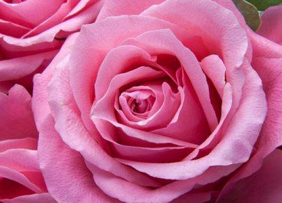 sandys-back-porch-pink-rose-care-image