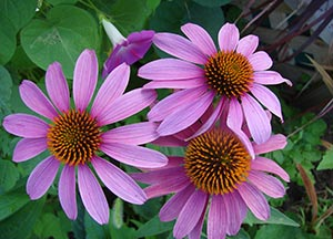 sandys-back-porch-planting-purple-perenniels-image