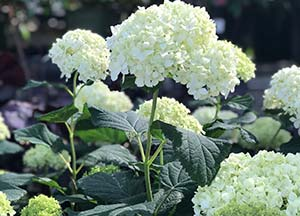 sandys-back-porch-white-hydrangea-landscape-tips-image