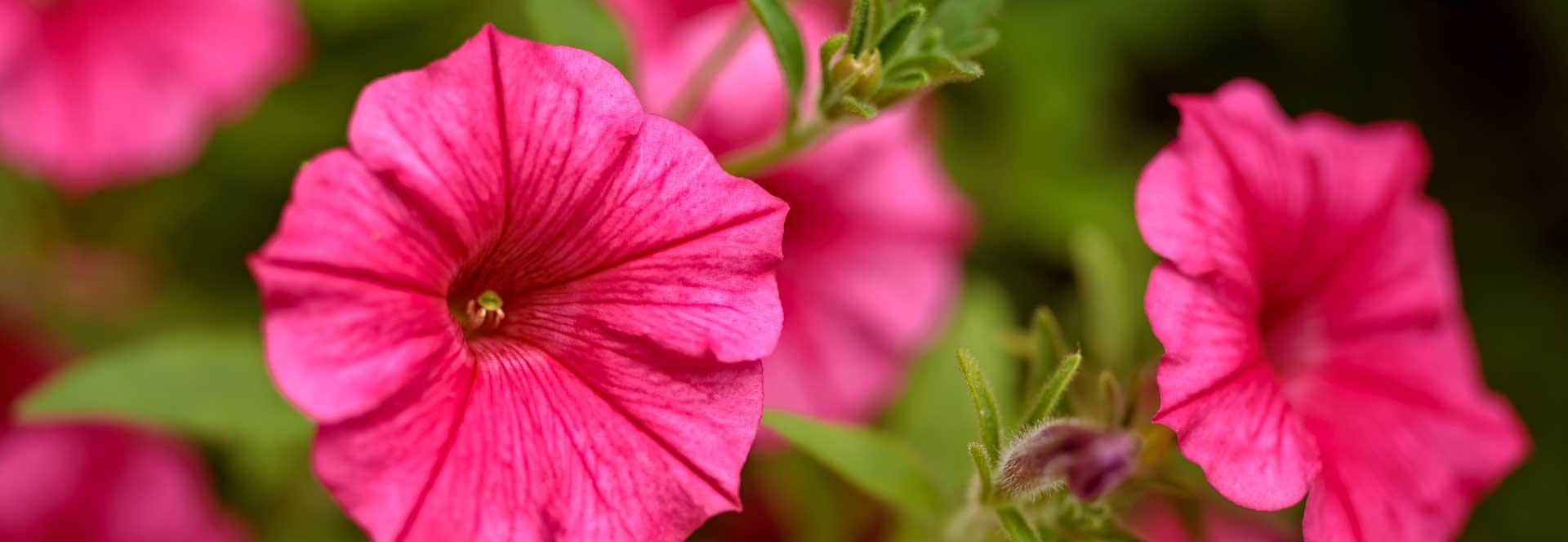 pink-flower-image-sandys-back-porch