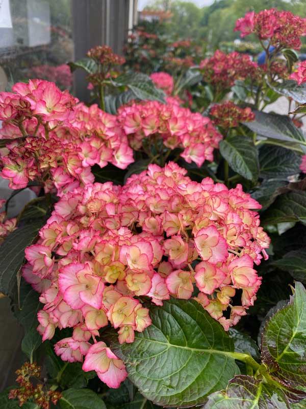 pink-hydrangea-flower-image-sandys-back-porch