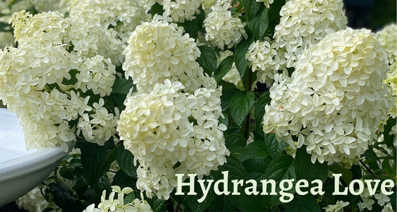 Hydrangeas at Sandy's Back Porch