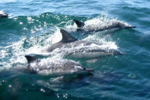 dolphins, swimming, water