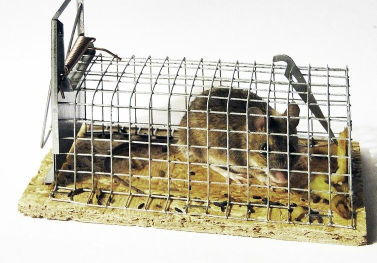 Mouse in a trap