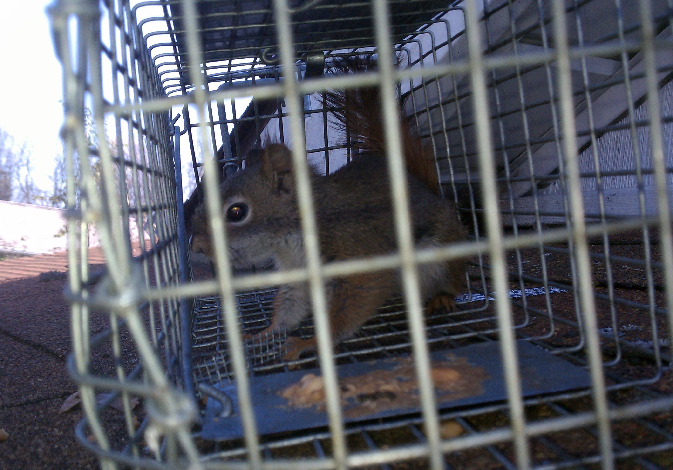 red squirrel in a trap