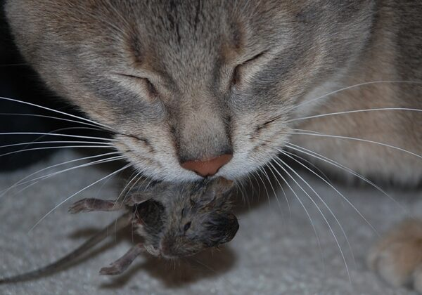 cat with a mouse in his mouth