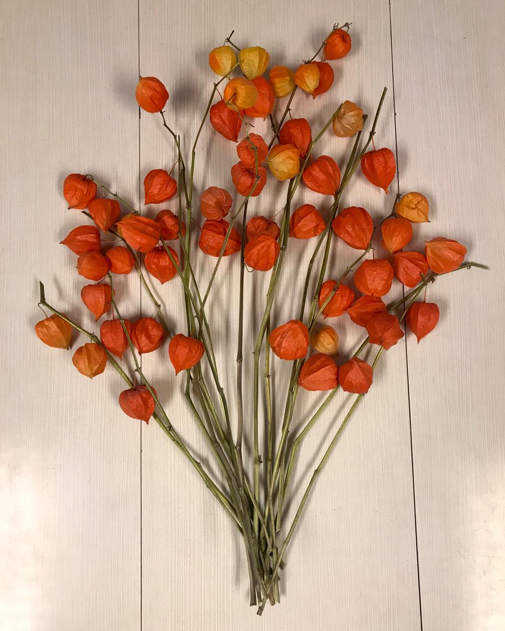 Chinese Lanterns Physalis Alkekengi