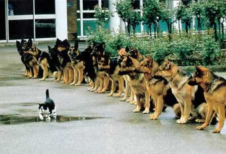 german-shepherds-watching-cat