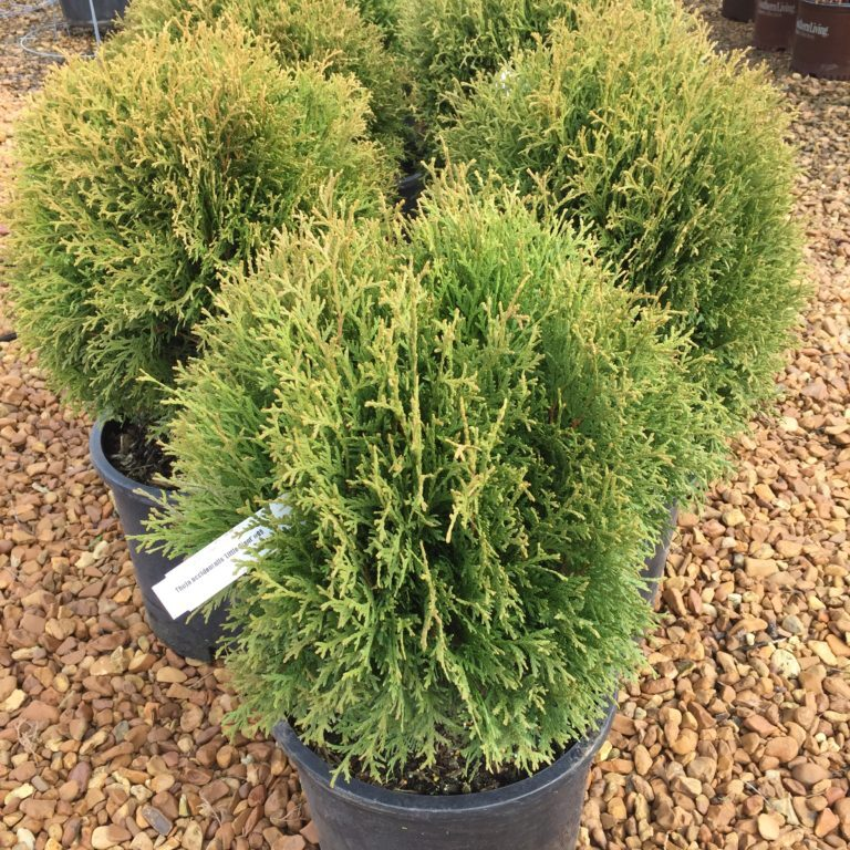 'Little Giant' Arborvitae