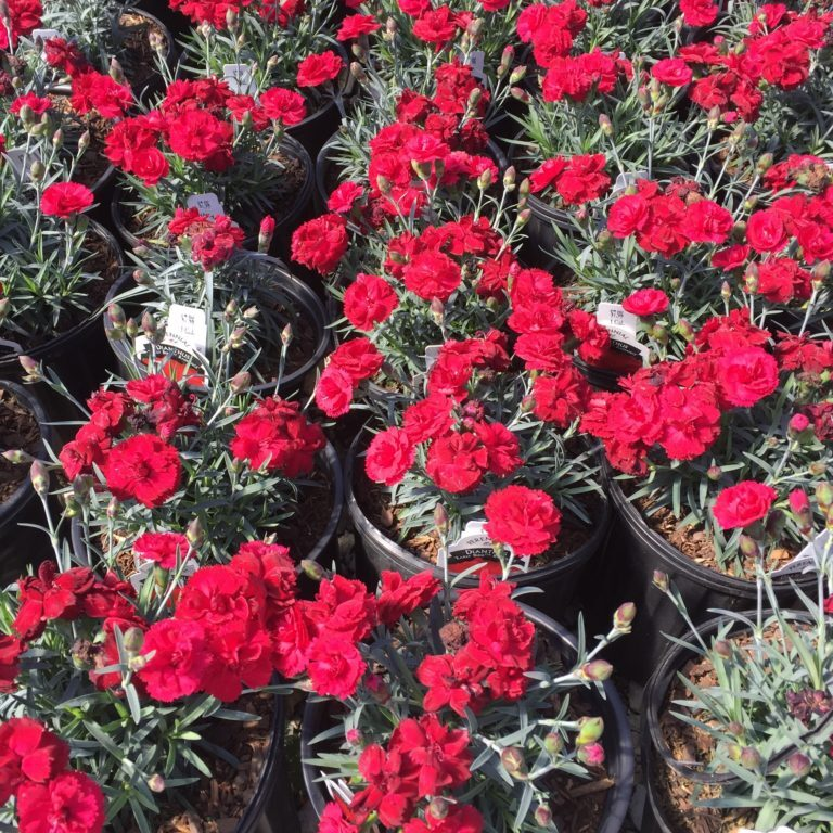 'Radiance Early Bird' Dianthus
