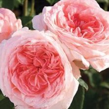 'Liv Tyler' (Photo by Star® Roses & Plants)