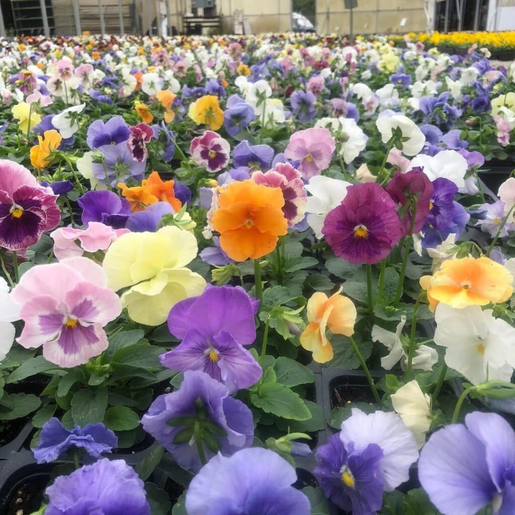 'Watercolors Mix' Delta™ Pansy
