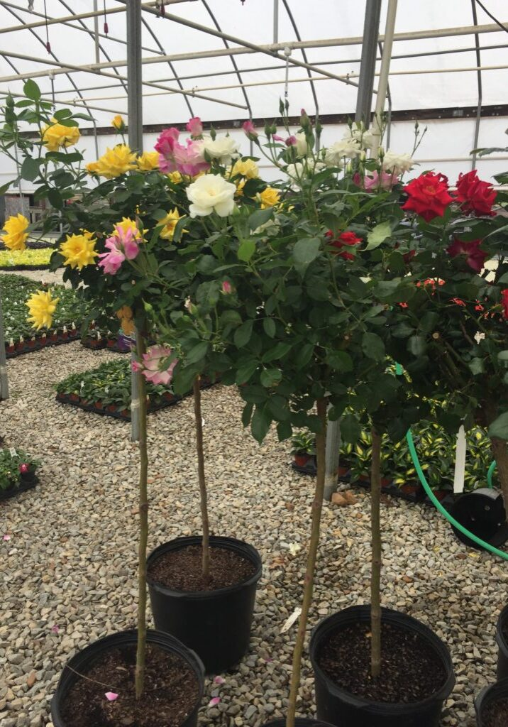Tree Form Roses