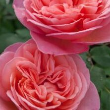 'Sweet Mademoiselle' (Photo by Star® Roses & Plants)