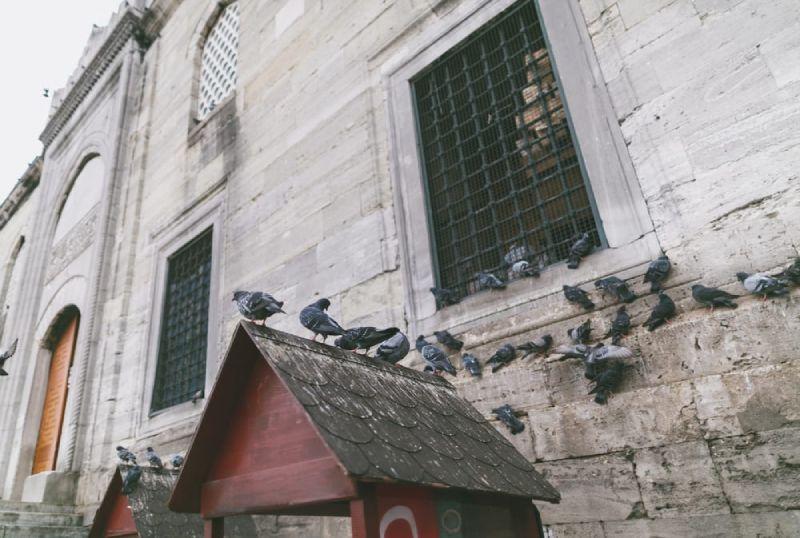 pigeon infestation
