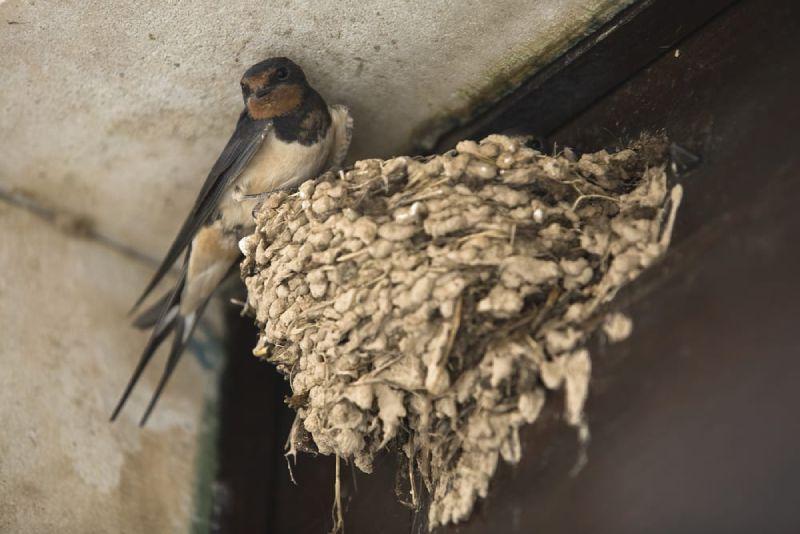 mud swallows