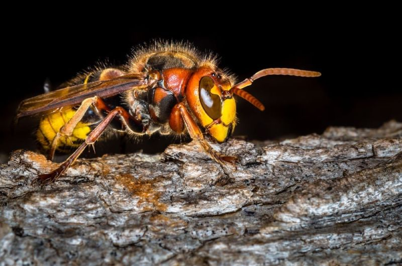 Asian giant hornet basics