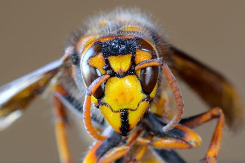Asian giant hornet risks