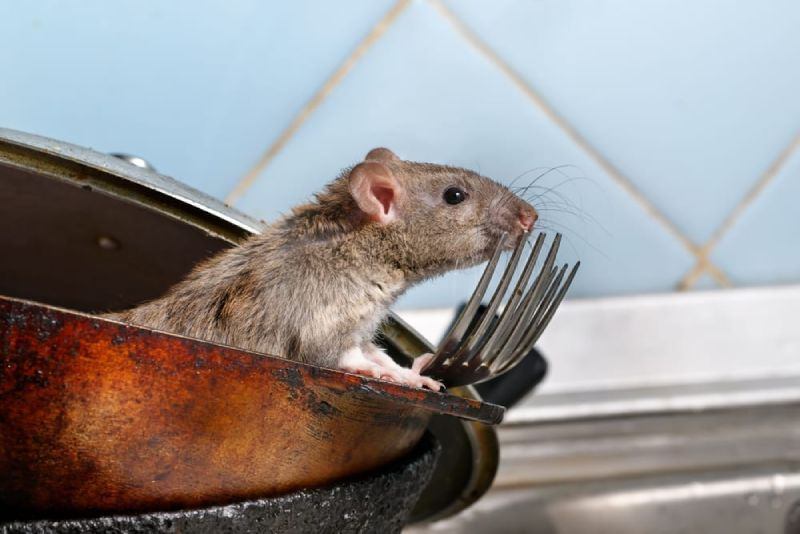 mice rodents significant risk