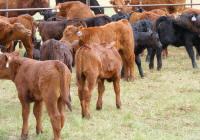 2009 steer & heifer calves
