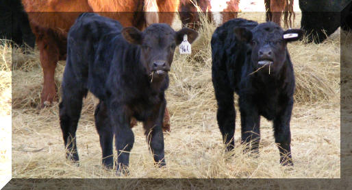 2008 calves out of Lil Mac & Sterling