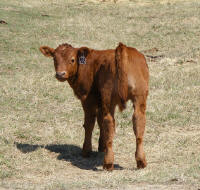 Mar 31 bull prospect sired by Sterling out of a Big Red daughter