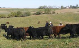 Silver Spur Cows