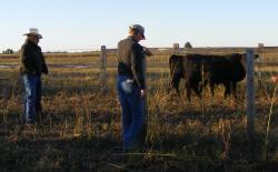looking at Miller's Yrlg Heifers