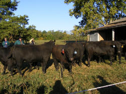 Lindenhill Farms & a neighbors Angus bulls that just came home from the Bull Test