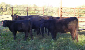 Lindenhill Yearling Heifers