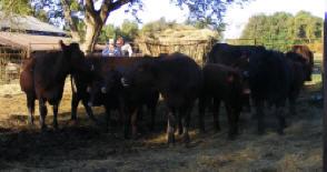 M & S Salers Cows