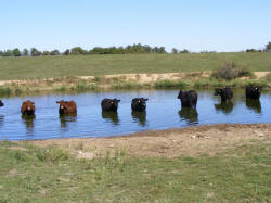 """Salyers cows enjoying the pond....many of his cows are """"E"""" cows"""