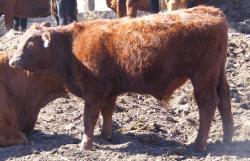 tag 512R, born 5/15, 81.25% steer
