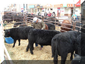Bobbie with the bulls in Miles City 2005