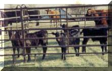 2002 Bull Calves on branding day