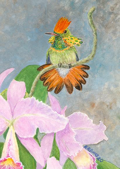 Coquette Hummingbird Orchid