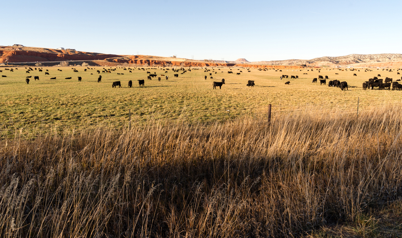 It's a perfect grazing spot for these black angus cattle